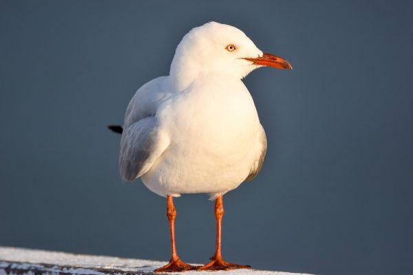 Gulls-and-terns-carole-photos-11