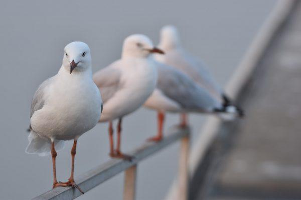 Gulls-and-terns-carole-photos-12