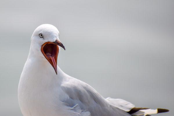 Gulls-and-terns-carole-photos-13
