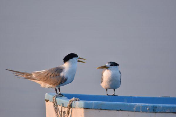Gulls-and-terns-carole-photos-14