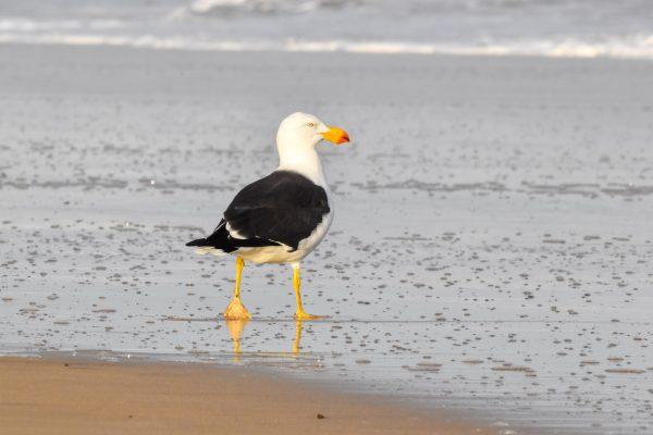 Gulls-and-terns-carole-photos-15