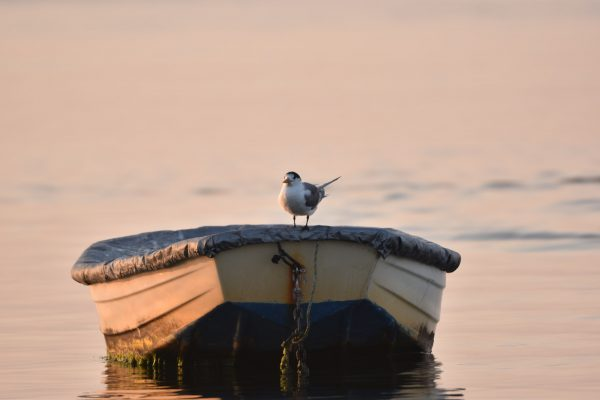 Gulls-and-terns-carole-photos-17