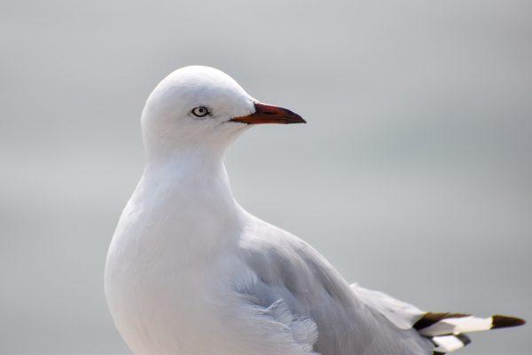 Gulls-and-terns-carole-photos-18