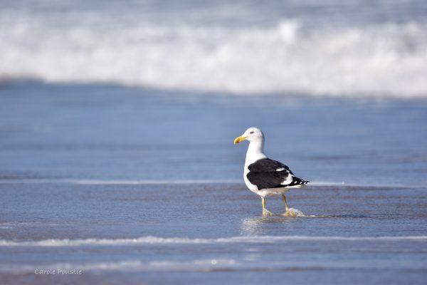 Gulls-and-terns-carole-photos-19