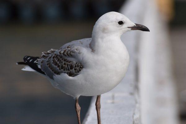 Gulls-and-terns-carole-photos-2