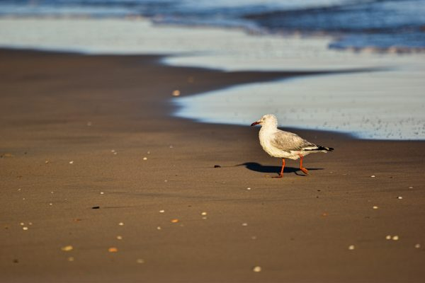 Gulls-and-terns-carole-photos-21