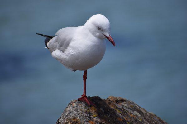 Gulls-and-terns-carole-photos-22