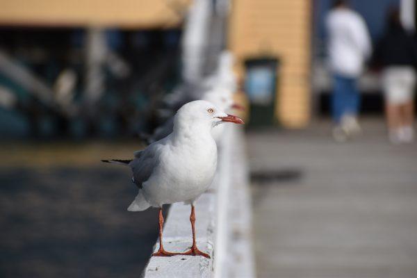 Gulls-and-terns-carole-photos-23