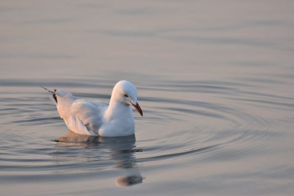Gulls-and-terns-carole-photos-24