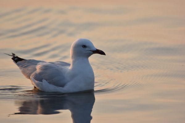 Gulls-and-terns-carole-photos-25