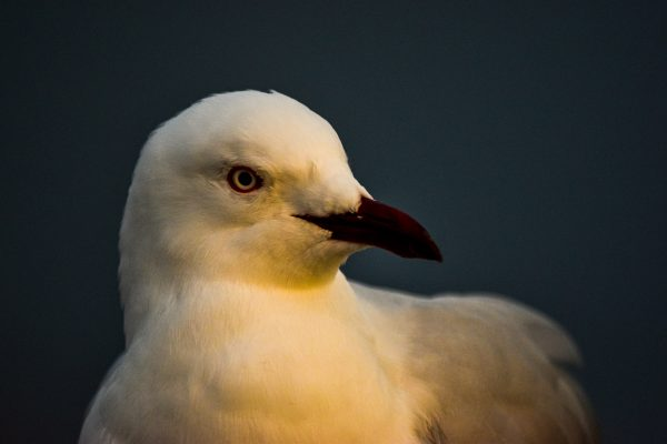 Gulls-and-terns-carole-photos-26