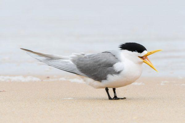 Gulls-and-terns-carole-photos-27