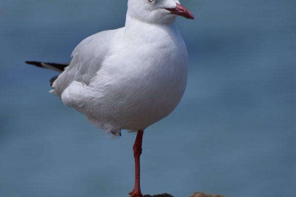 Gulls-and-terns-carole-photos-28