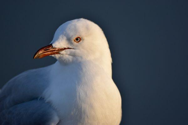 Gulls-and-terns-carole-photos-29