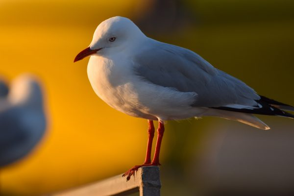 Gulls-and-terns-carole-photos-3
