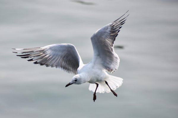 Gulls-and-terns-carole-photos-31
