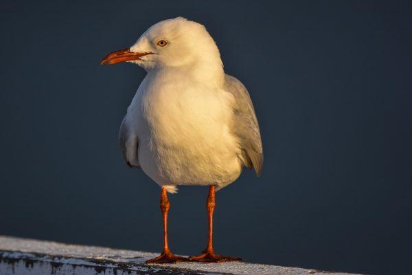 Gulls-and-terns-carole-photos-32