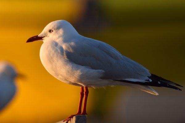 Gulls-and-terns-carole-photos-33