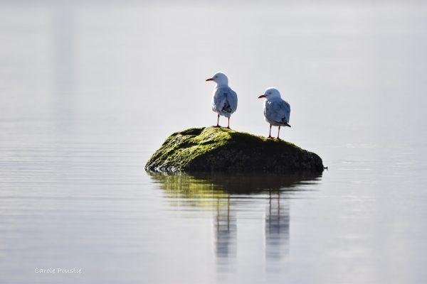 Gulls-and-terns-carole-photos-34