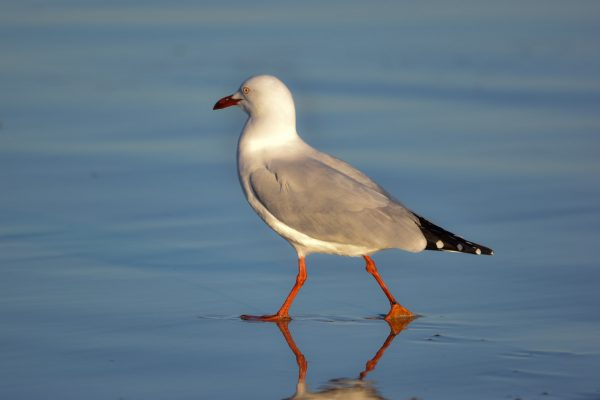 Gulls-and-terns-carole-photos-35