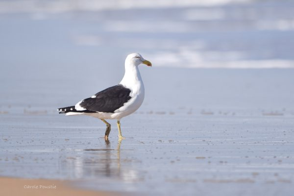 Gulls-and-terns-carole-photos-36