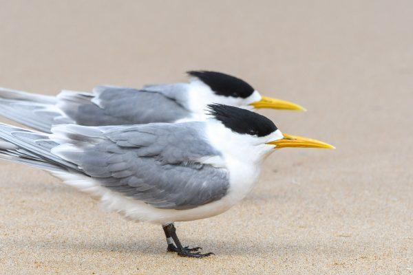 Gulls-and-terns-carole-photos-37