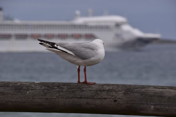 Gulls-and-terns-carole-photos-38