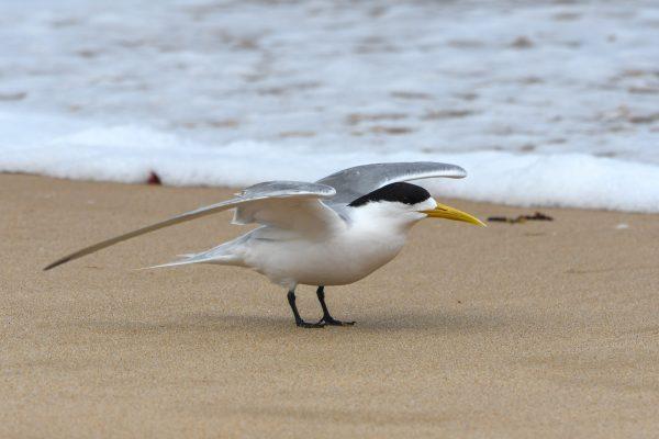 Gulls-and-terns-carole-photos-39