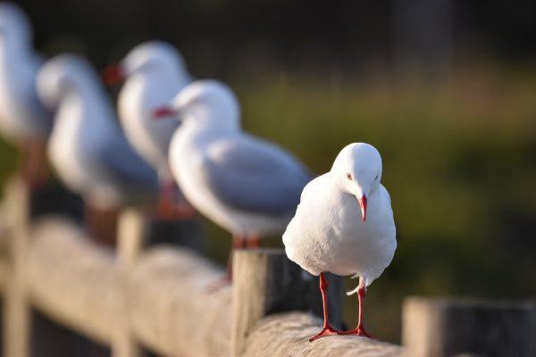 Gulls-and-terns-carole-photos-4