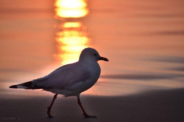 Gulls-and-terns-carole-photos-5