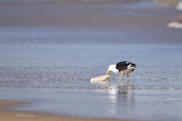 Gulls-and-terns-carole-photos-6