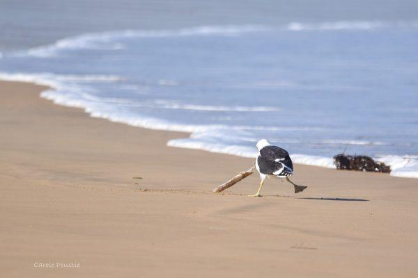 Gulls-and-terns-carole-photos-8