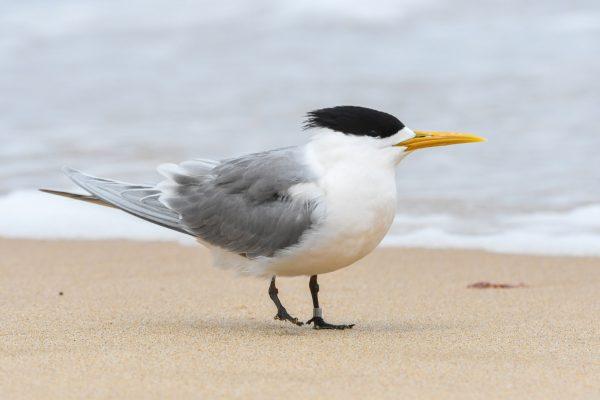 Gulls-and-terns-carole-photos-9
