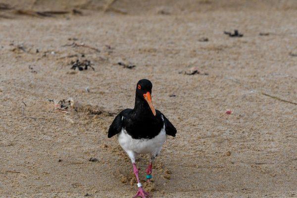 Oystercatchers-photos-carole29