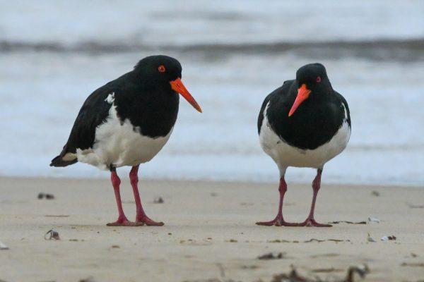 Oystercatchers-photos-carole34