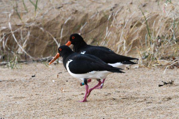 Oystercatchers-photos-carole35